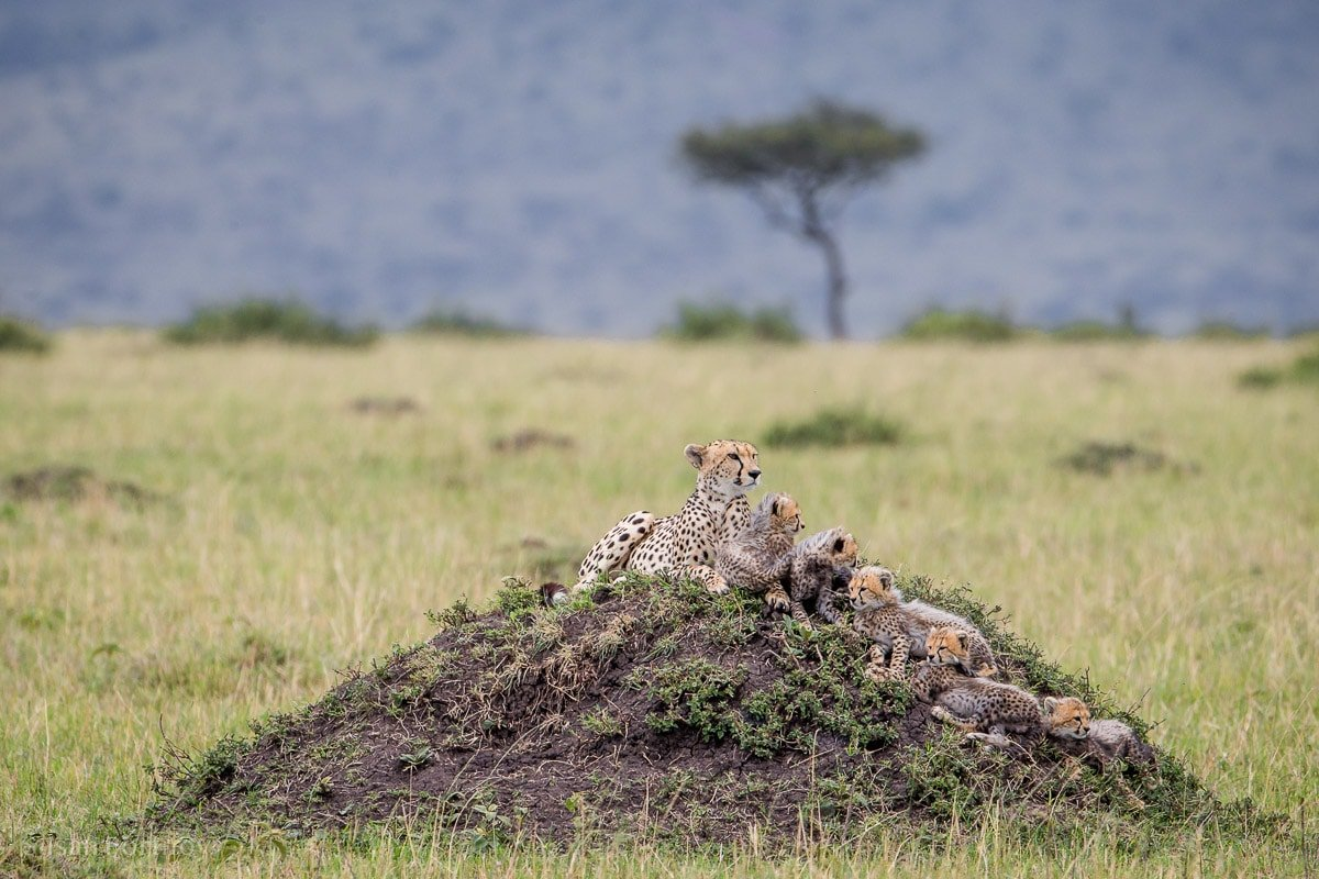 A female cheetah sits on a mound with five tiny cubs.