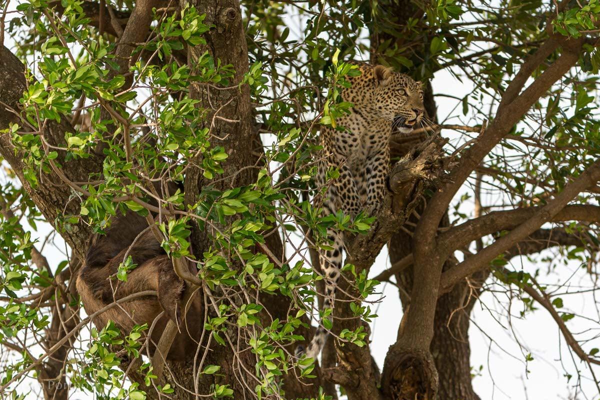 An adult female leopard sits in a tree in Kenya