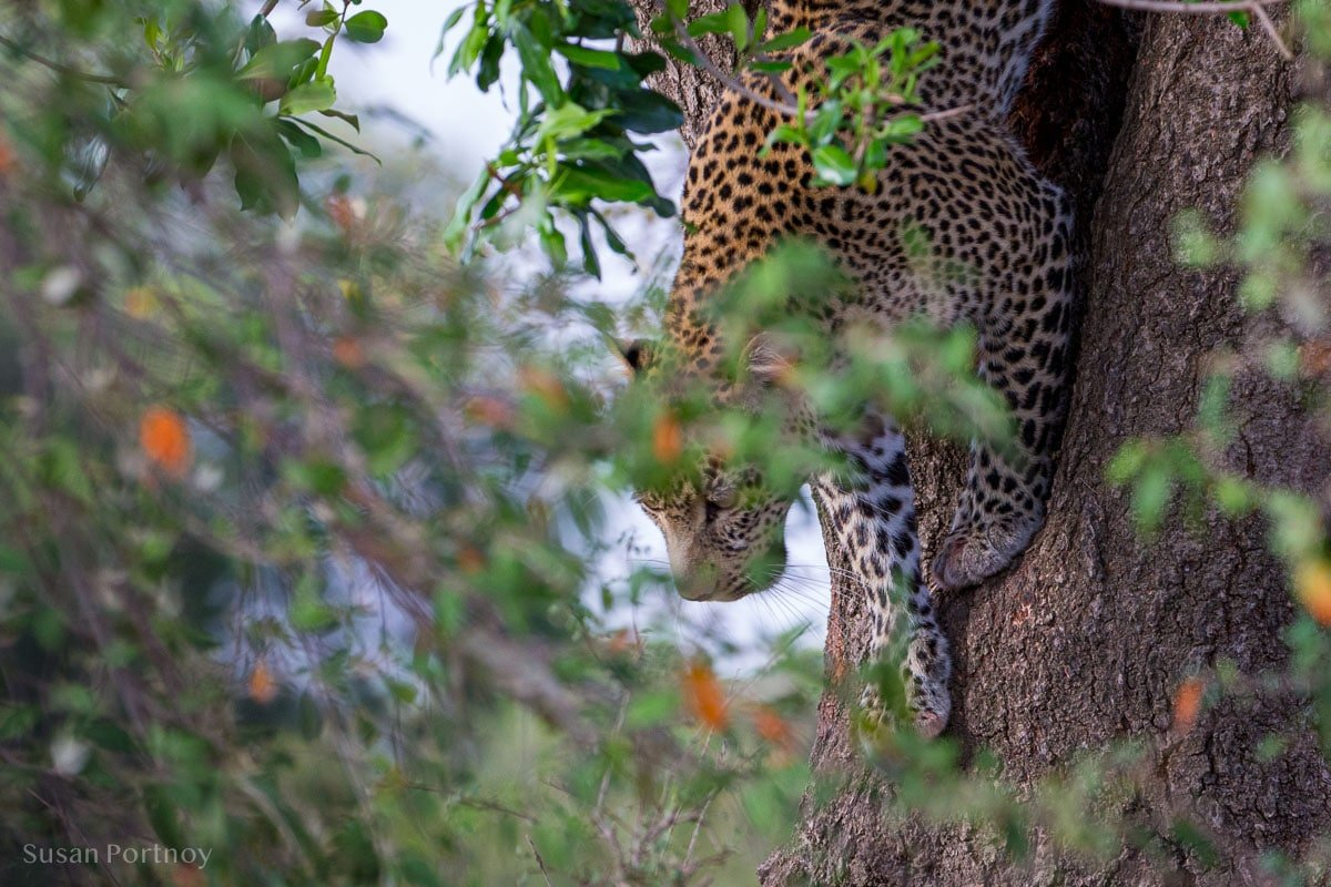 Leopard in a tree climbing down - Wildlife Stories