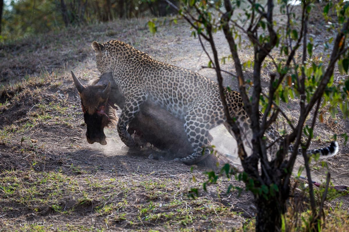 A leopard drags a large wildebeest up a small hill in Africa