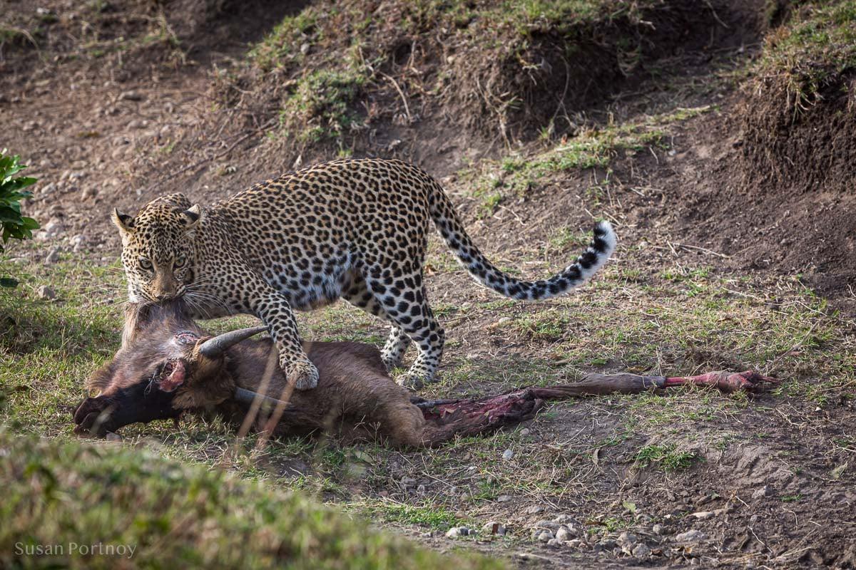A leopard dragging a wildebeest carcass