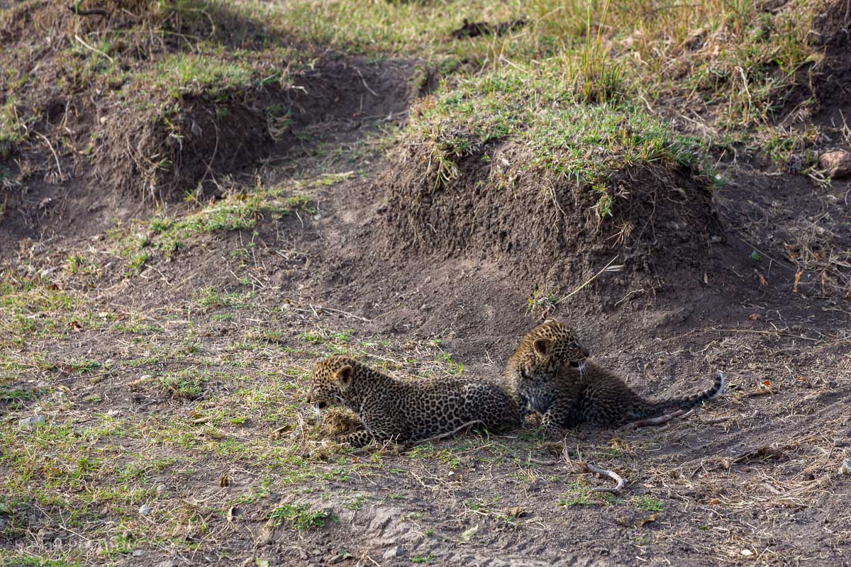 The leopard cubs afraid of our vehicles, cower in a gully