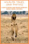 Wildlife Tales: Lion Stories and More From My Masai Mara Safaris