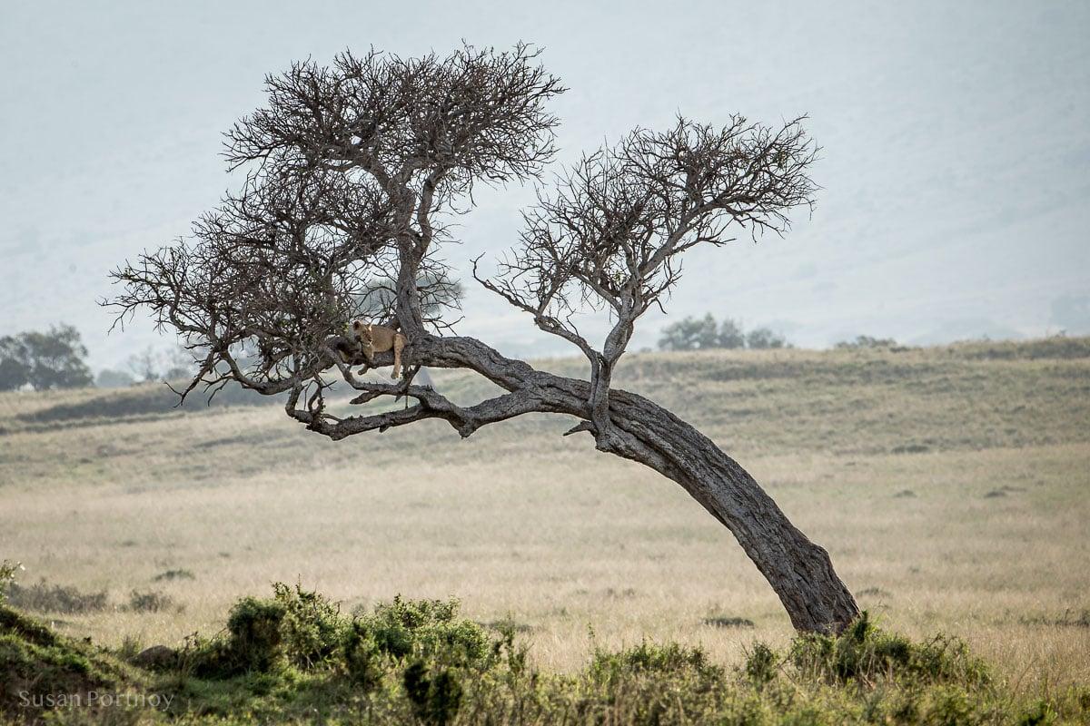 A classic lion behavior: sitting in a tree in the Masai Mara