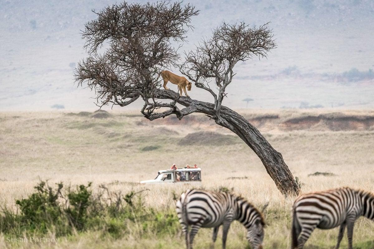 A Lion standing on a branch of a tree Masai Mara, Kenya,