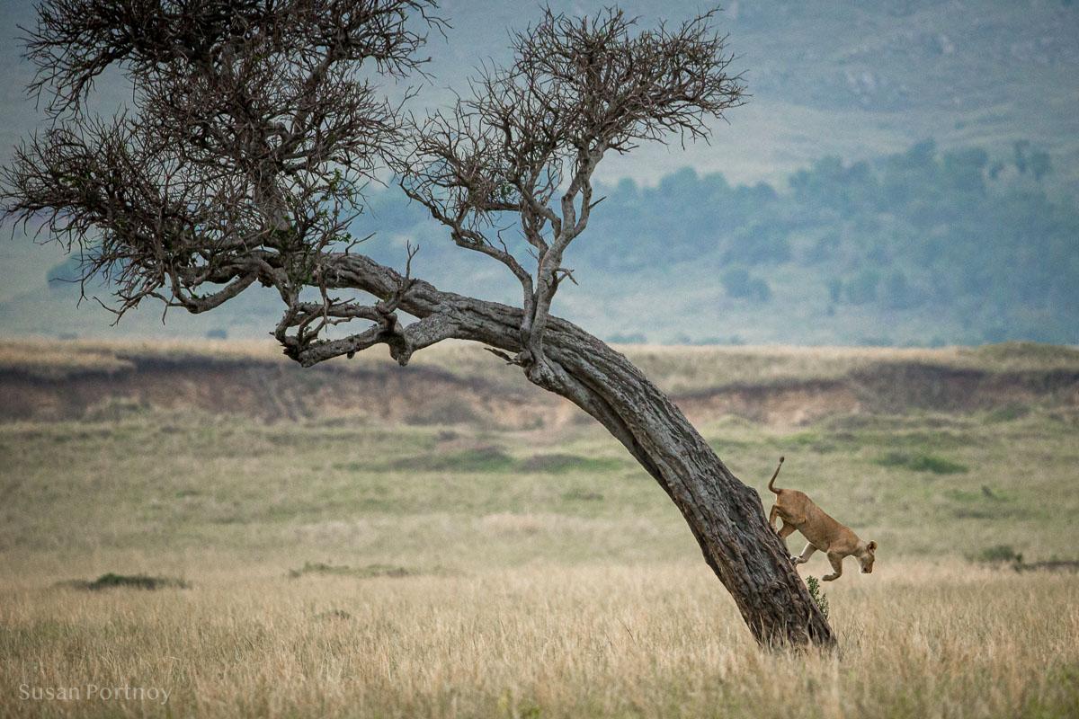 Lion runs down a trunk  in the Masai Mara, Kenya,