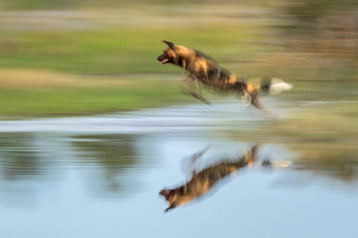 African Photo Safaris: Wild dog running through water in Botswana