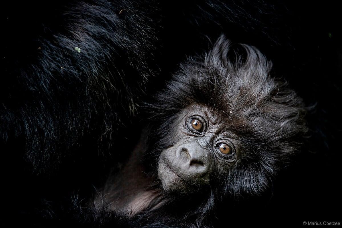 Baby gorilla in Rwanda