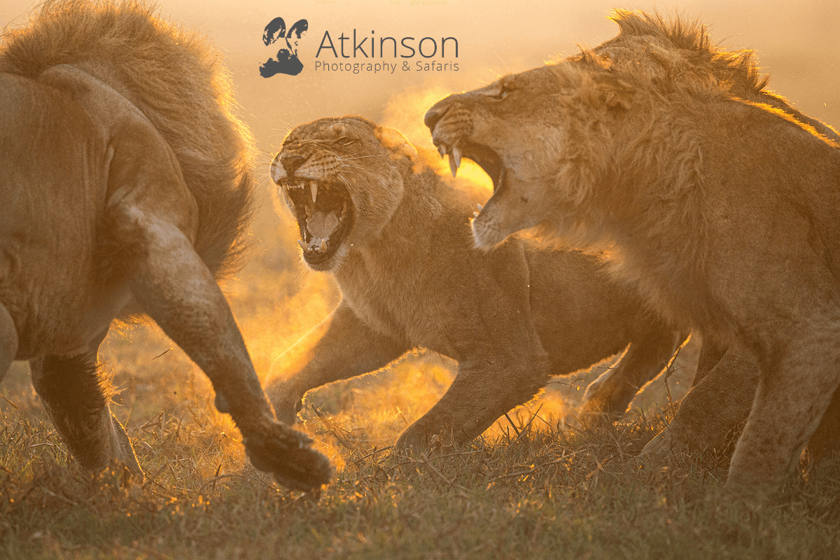Two male and one female lions growl at each other.  Photo credit: Atkinson Photography and Safaris -