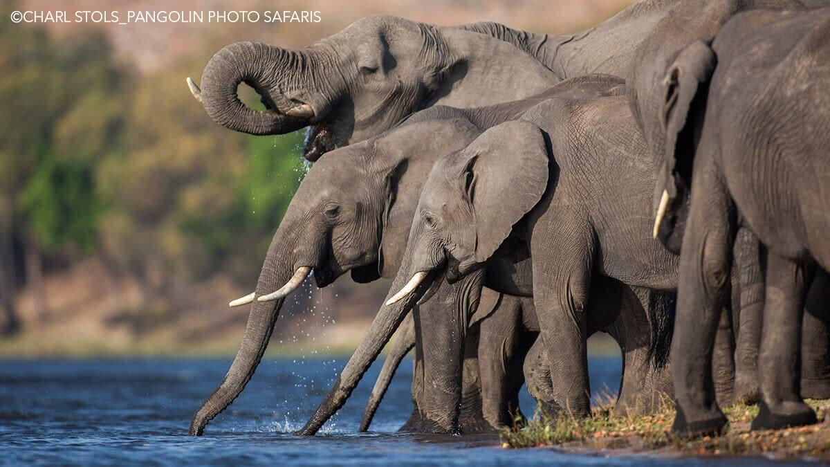 Elephants drinking at at watering hole Photo: Charl-Stols