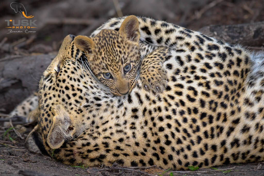 Leopard Mother and cub cuddle, taken by a photographer on safari.  Photo: Brendon Cremer