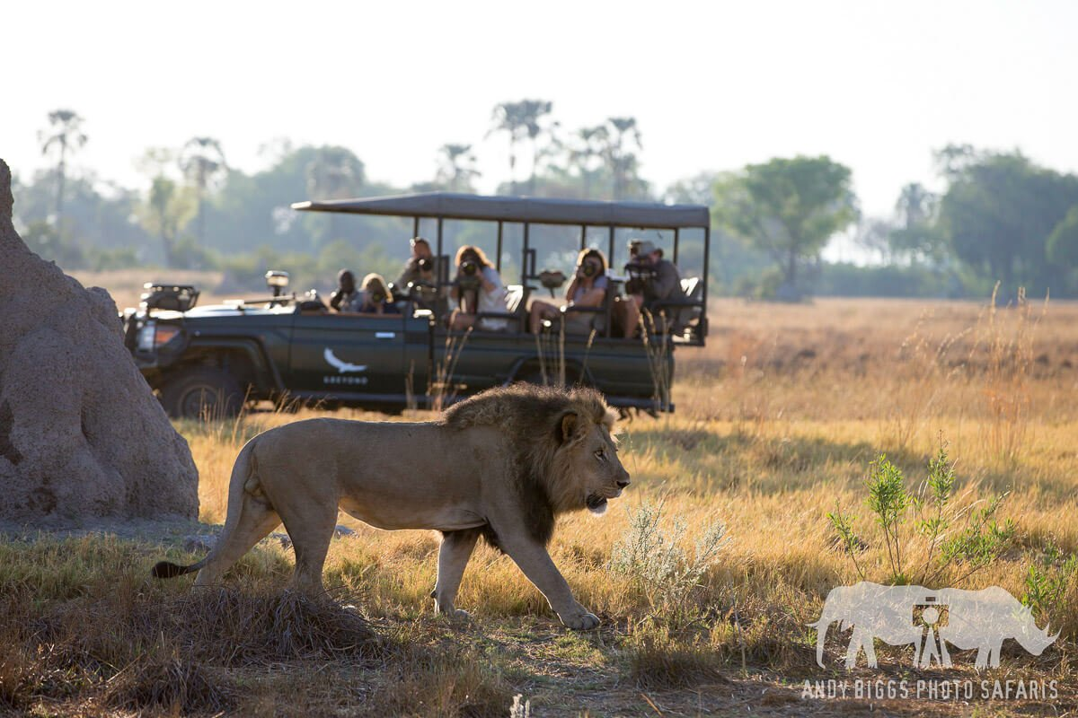 A lion walks in front of a safari vehicle on an African Photo Safari