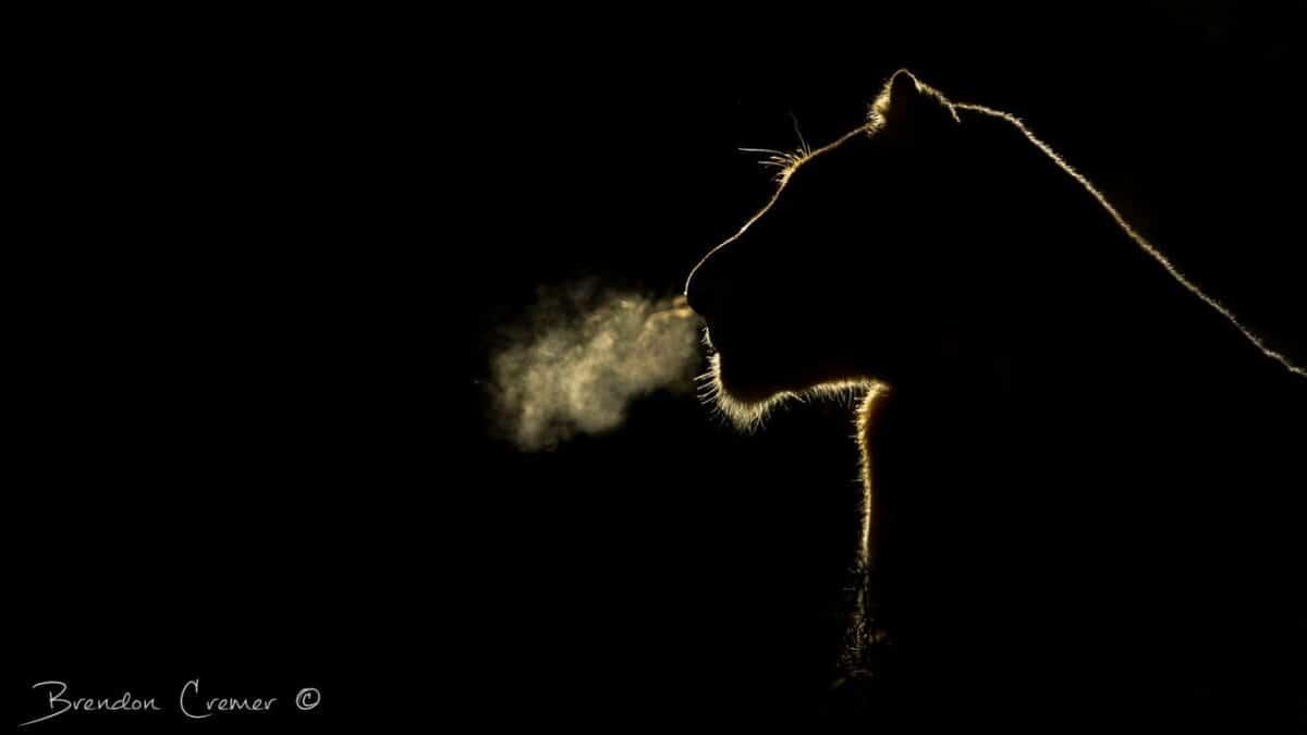 Lion in silhouette Photo: Brendon Cremer