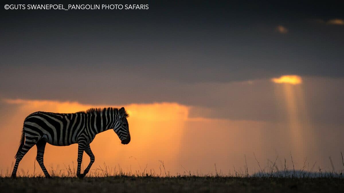 zebra in silhouette