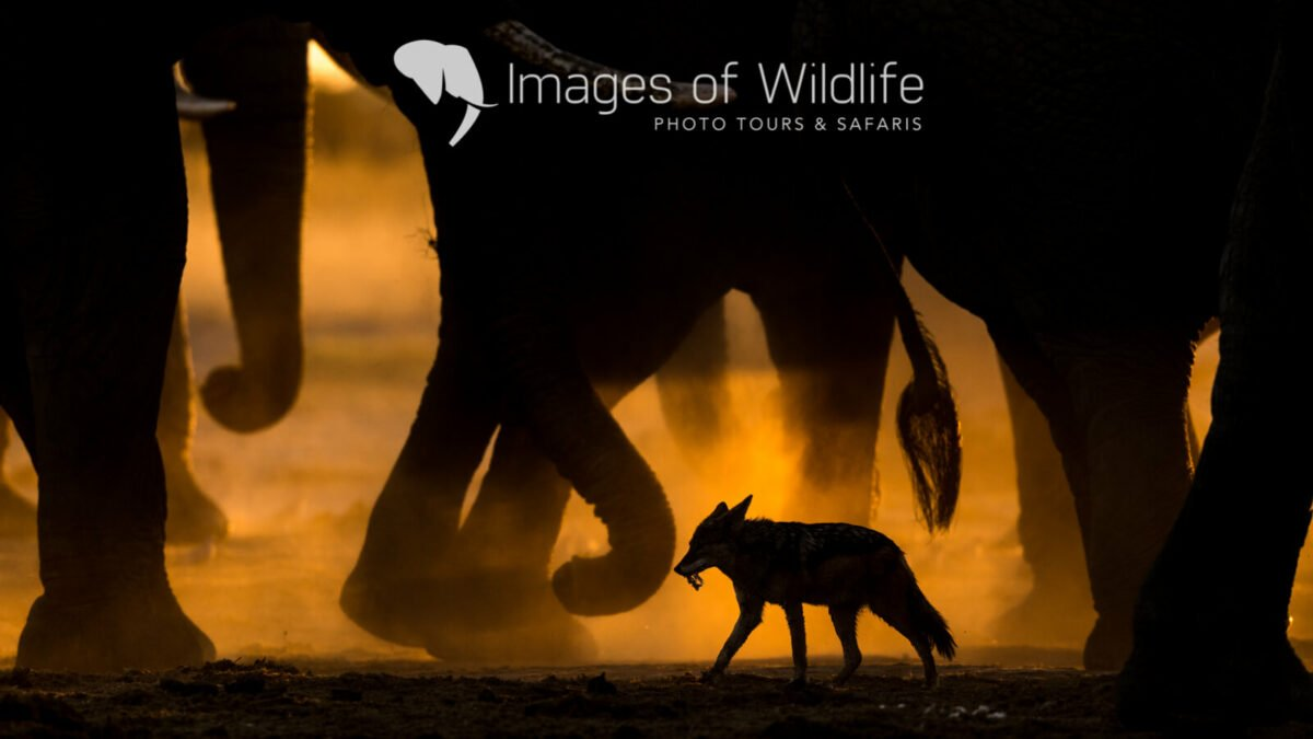 The silhouette of a jackal walking in herd of elephants in silhouette - an example of African safari Photography  Photo credit: Andy and Sarah Skinner