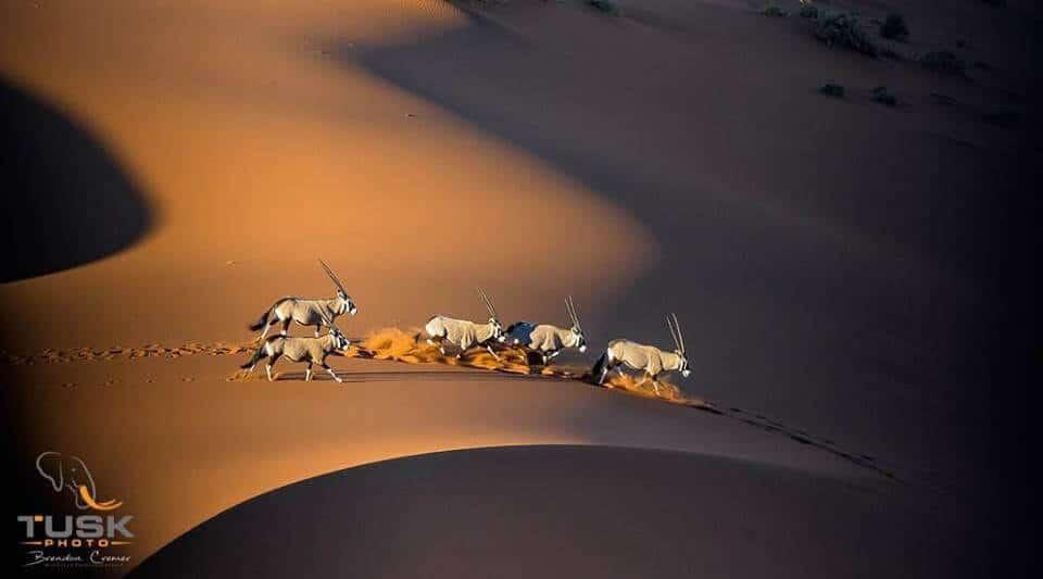 Oryx running over sand dunes Photo: Brendon Cremer