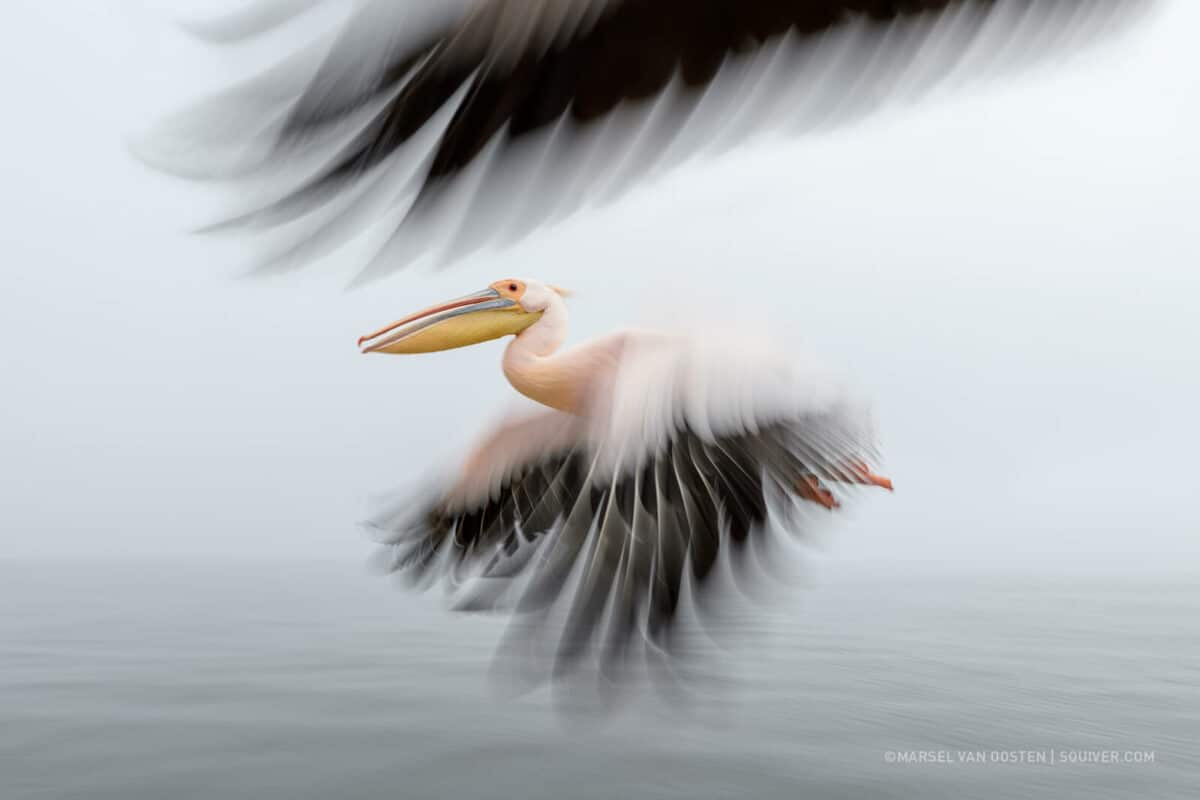 Stork flying in Nambia