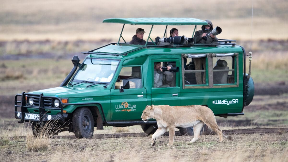 Wild Eye vehicle on Safari while a lioness walks beside it.