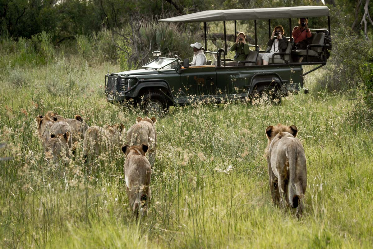 Lions walking toward a vehicle with a woman using a camera to photograph.Taken while on a Botswana photo safari