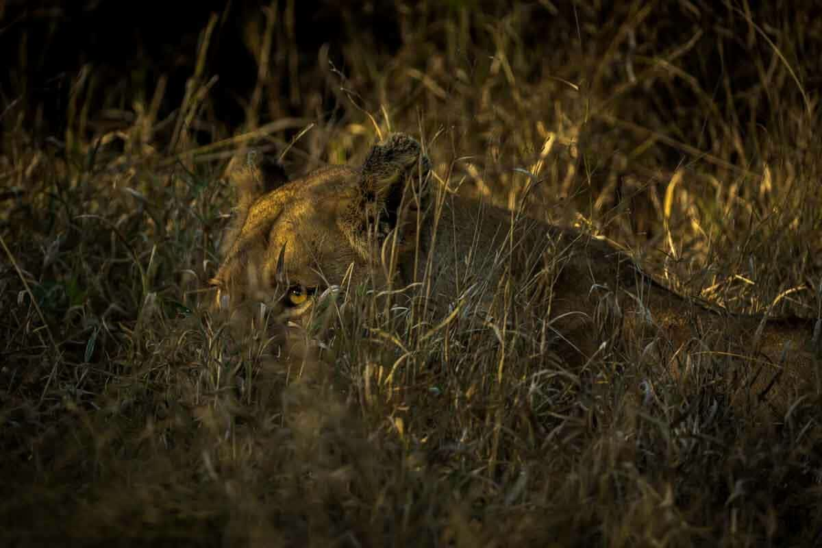 A female Lion lying down and almost completely camouflaged by grass in South Africa. Taken during an AFrican Wildife Safari