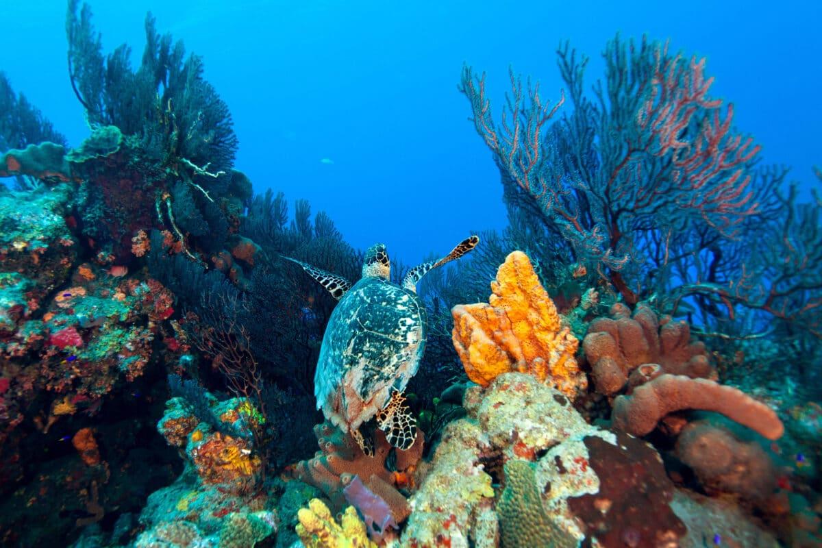 Sea Turtle underwater in the Marine Park off Saba Island