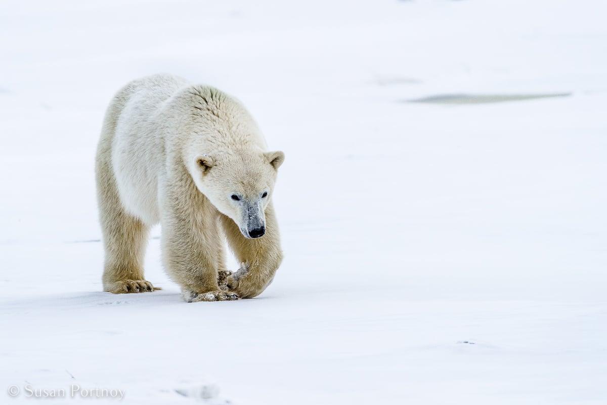 Polar bear walking in the snow
