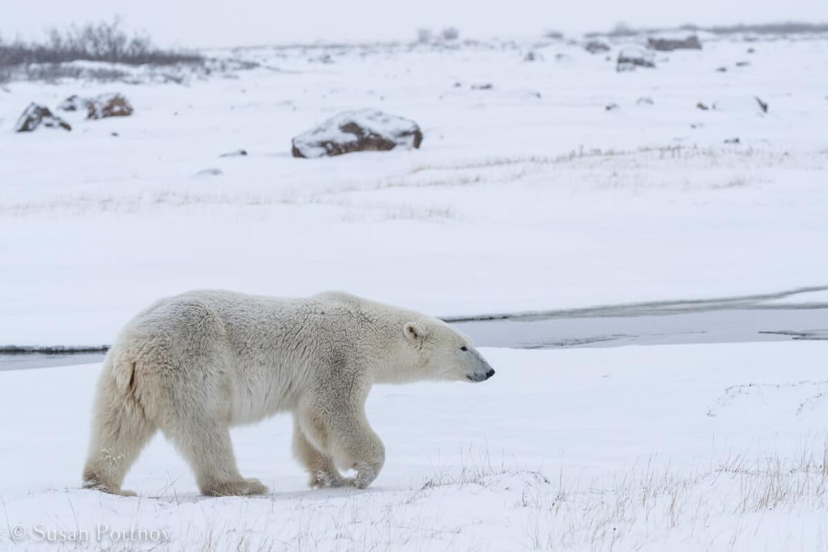 Polar Bear walking in the snow in northern Manitoba