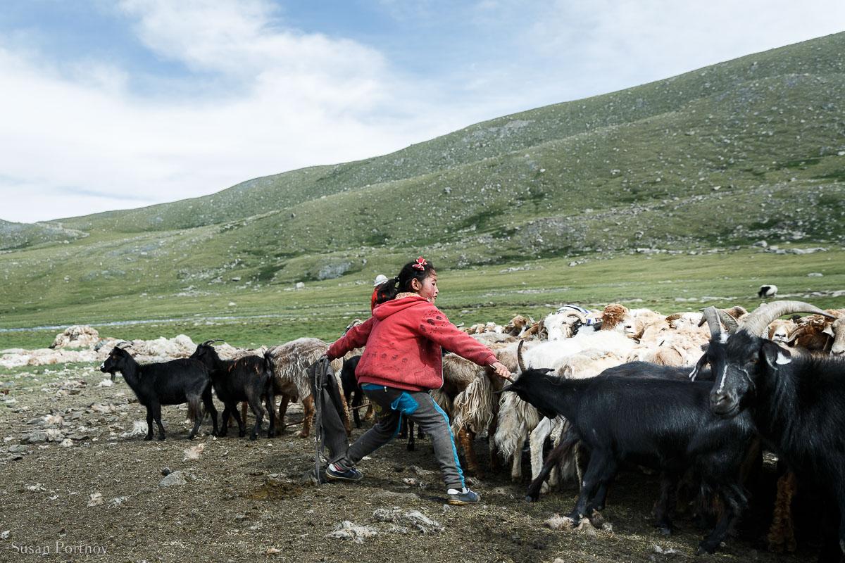 Kazakh girl pulling goat from herd to milk in Mongolia