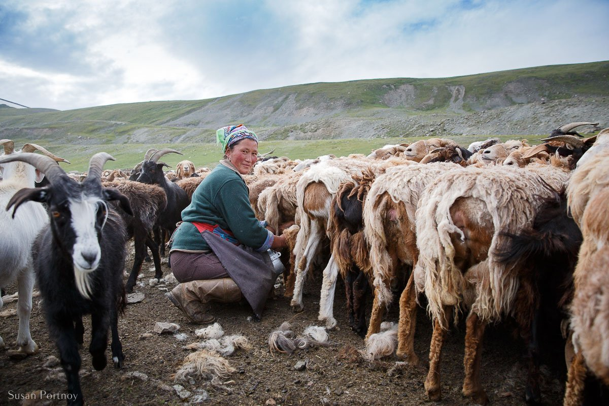 Old Kazakh Woman milking sheep and goats in the Altai Mountains, Mongolia