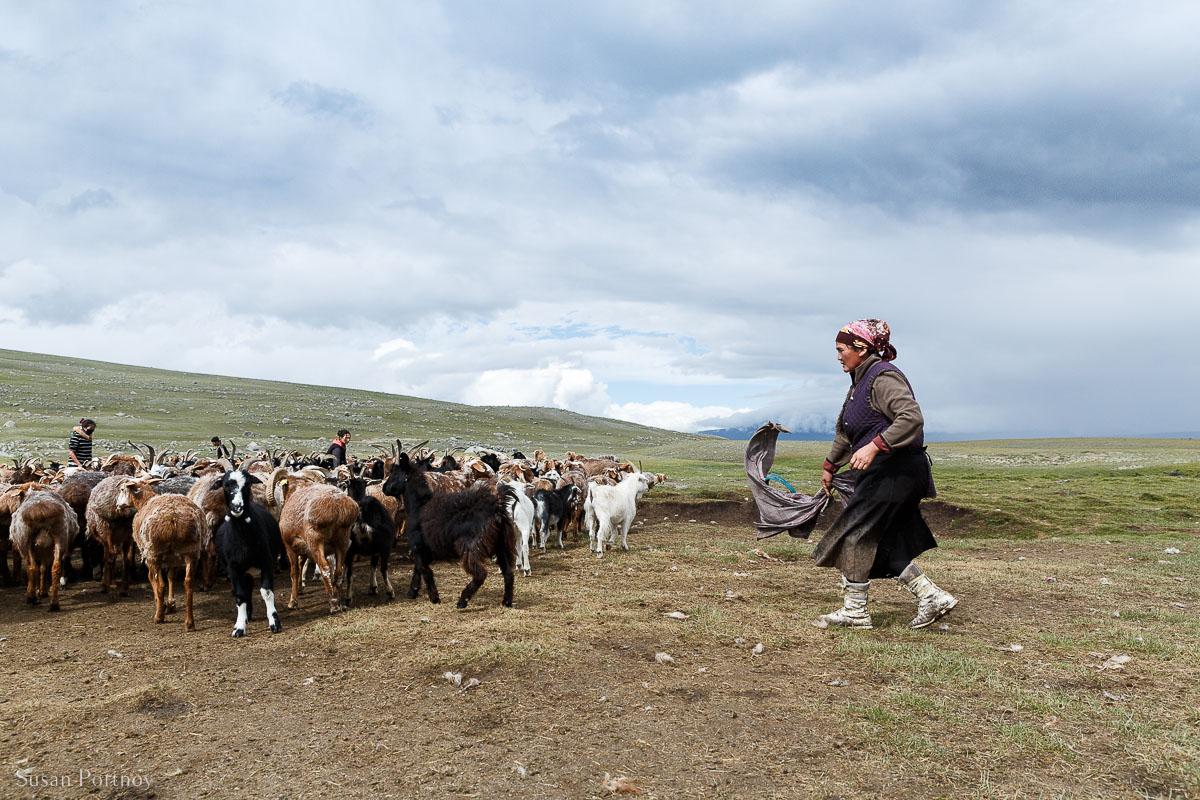 Kazakh-woman-herding-goats-in-mongolia