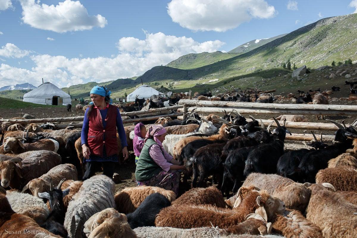 Kazakh-women-milking-goats-in-mongolia