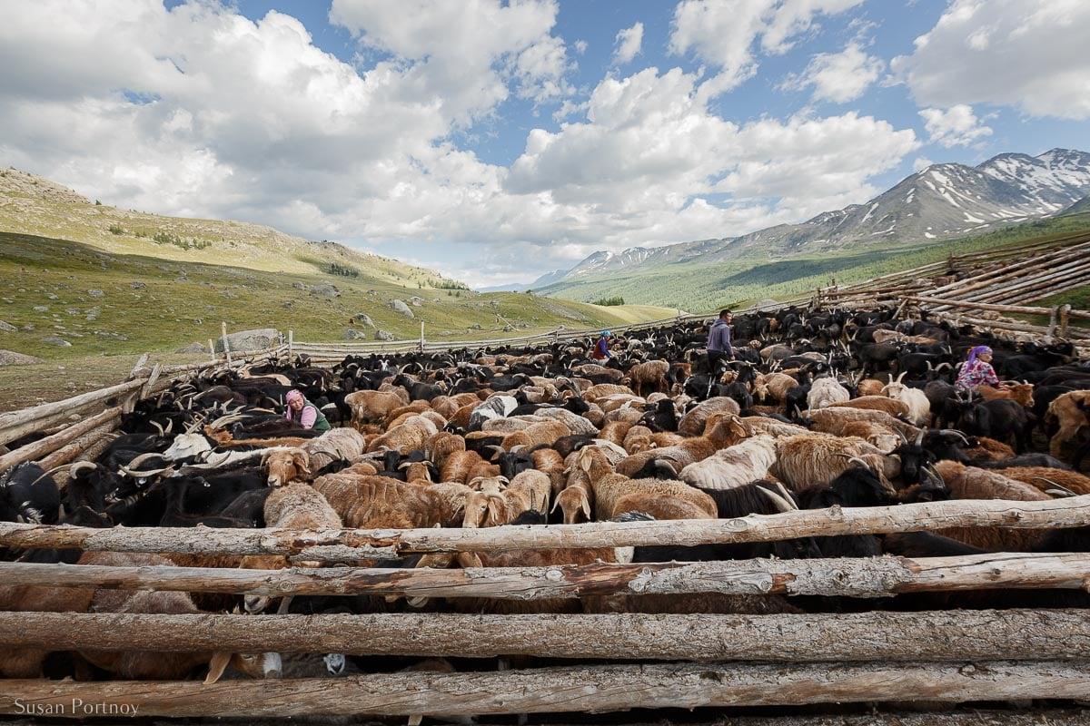 Pen of goats wiht Kazakh women milking in Mongolia