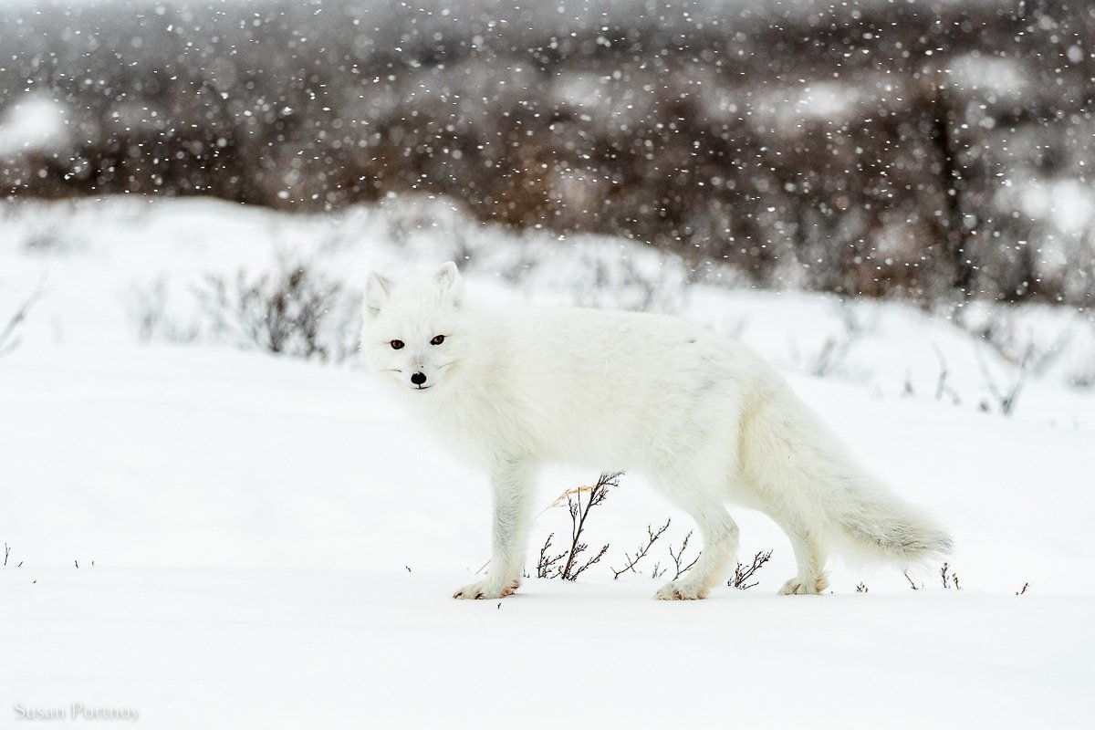 An Arctic Fox facing the camera in the snow in northern Manitoba