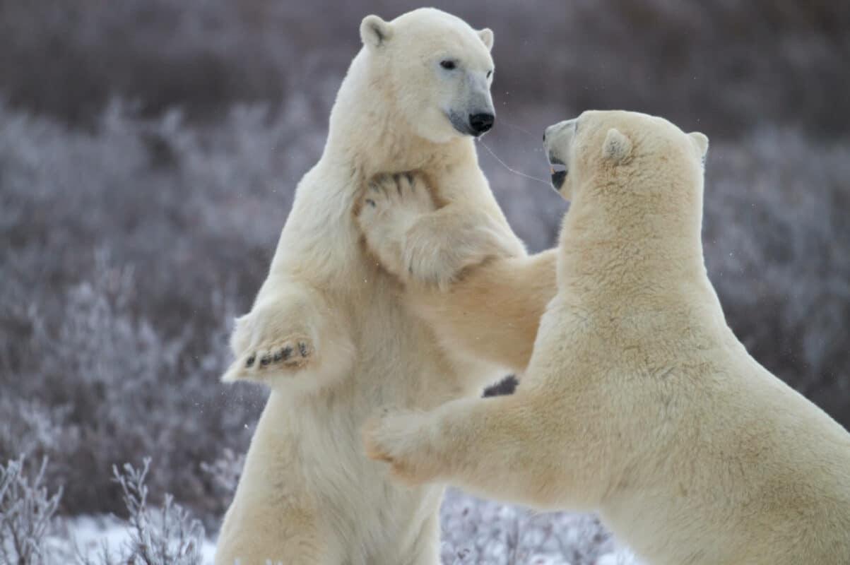 Polar Bears playing | Photo: Henry H. Holdsworth