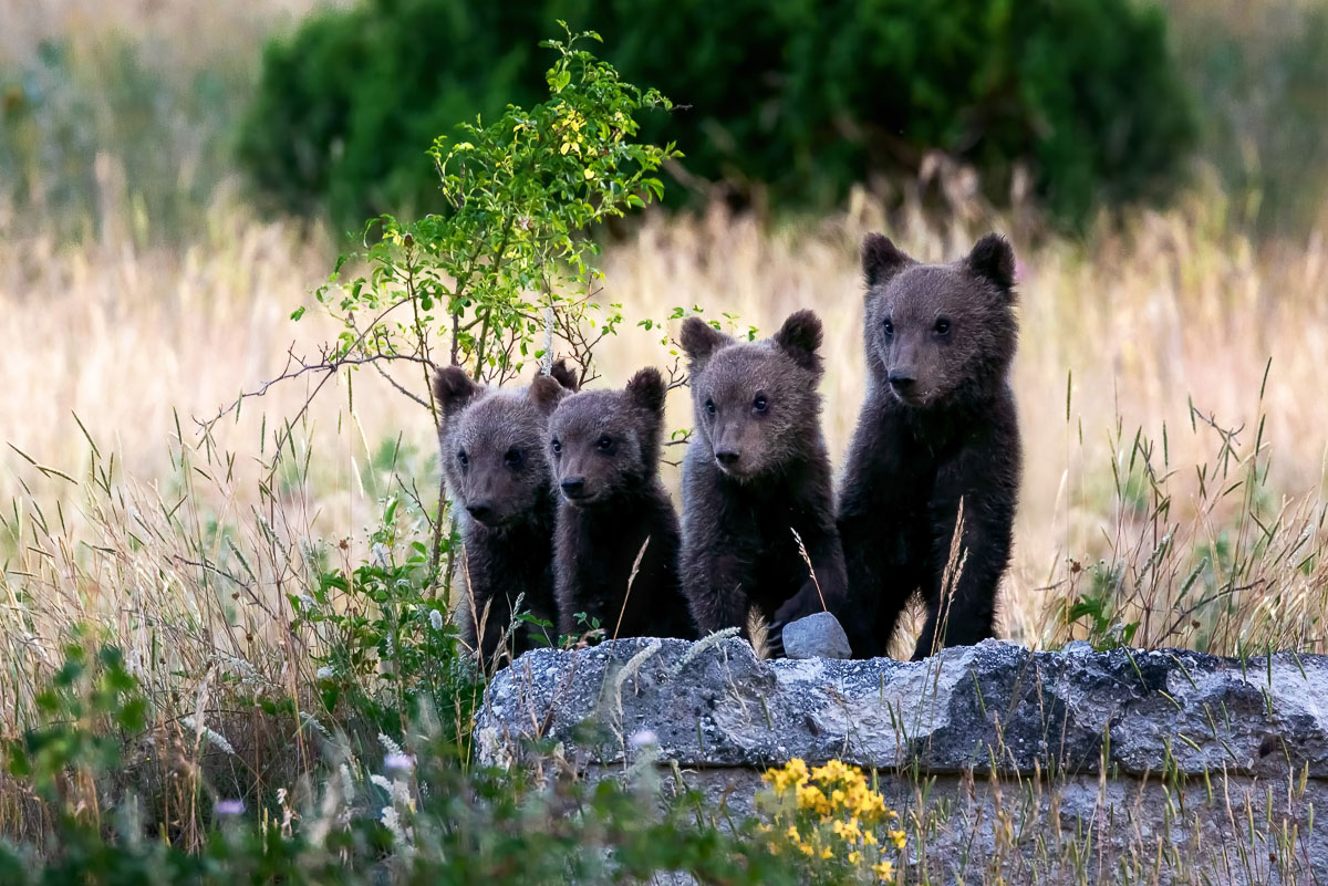 Four adorable bear cubs living in the area rewilded by Exodus Travels in the Apennines