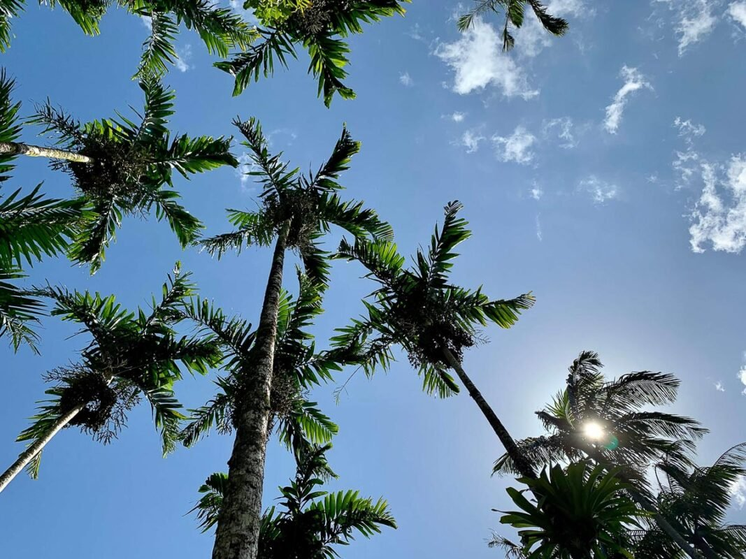 Looking up a palm trees and a blue sky-- Lynn Arboretum