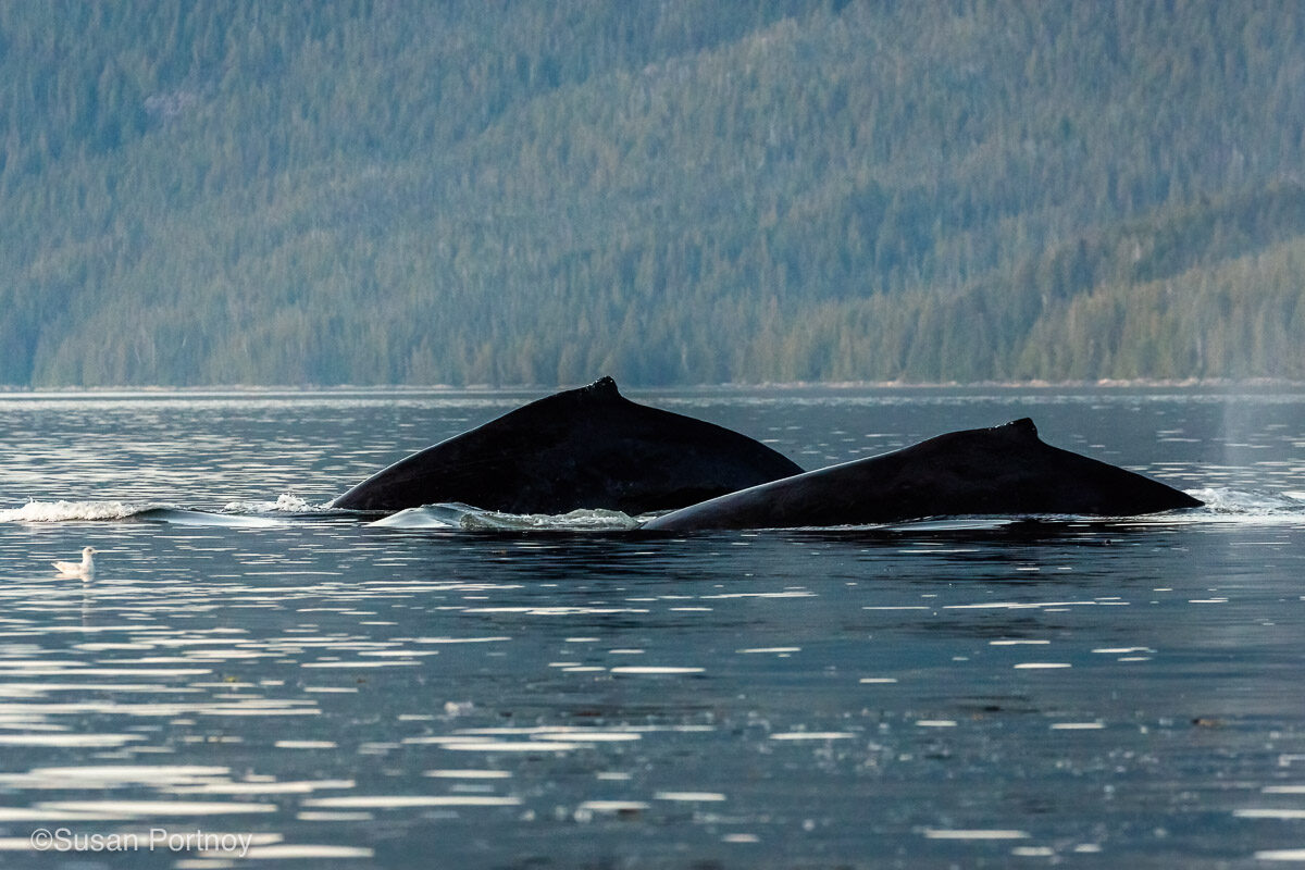 Two backs of humpback whales breaching the water of the Great BearRainforest