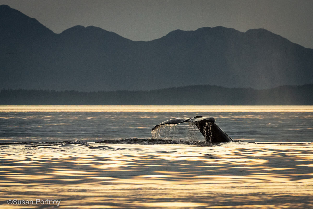 The fluke of a whale in silhouette just above the water dripping with water at sunset