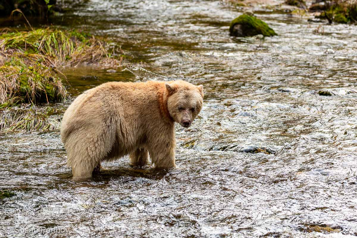 """An ivory-colored Kermode """"Spirit"""" bear standing in a stream in British Columbia's Great Bear Rainforest hunting for salmon"""