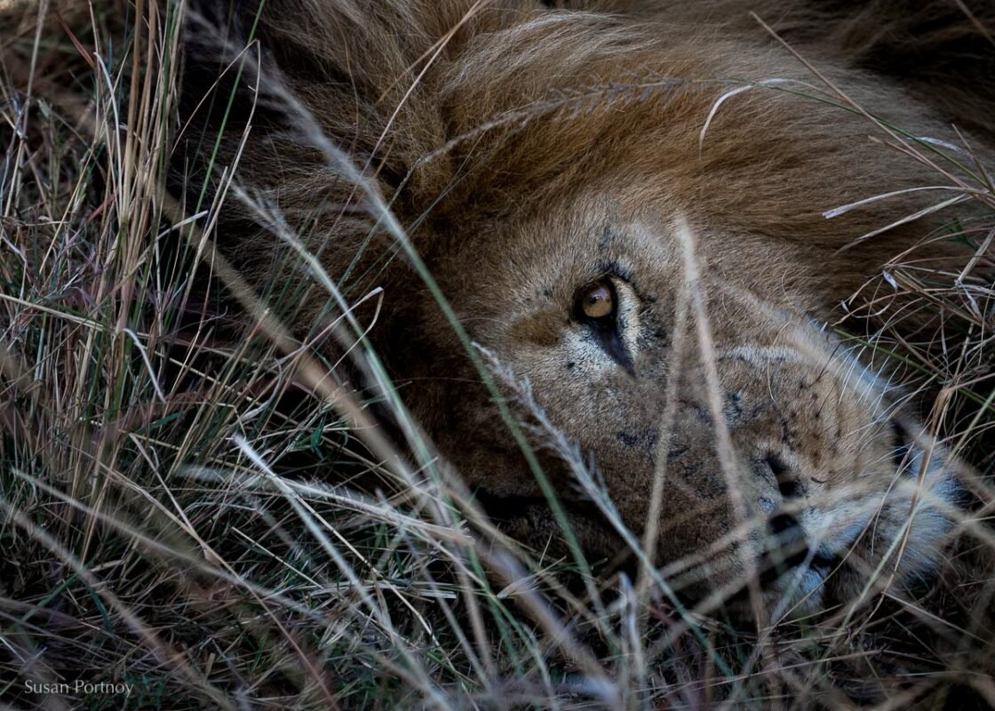 Scar the lion lying down in the shadow of my jeep in the Masai Mara
