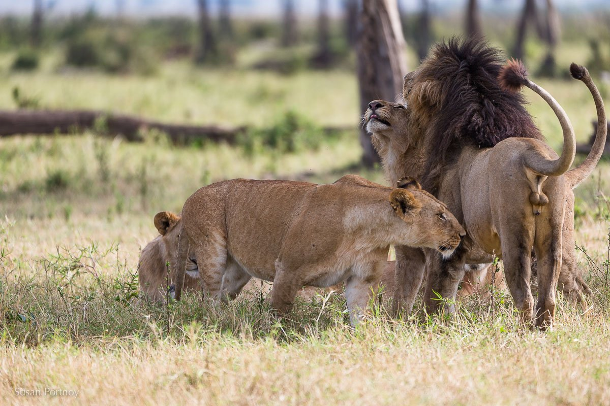 Scar the lion in Masai Mara with sub-adult males