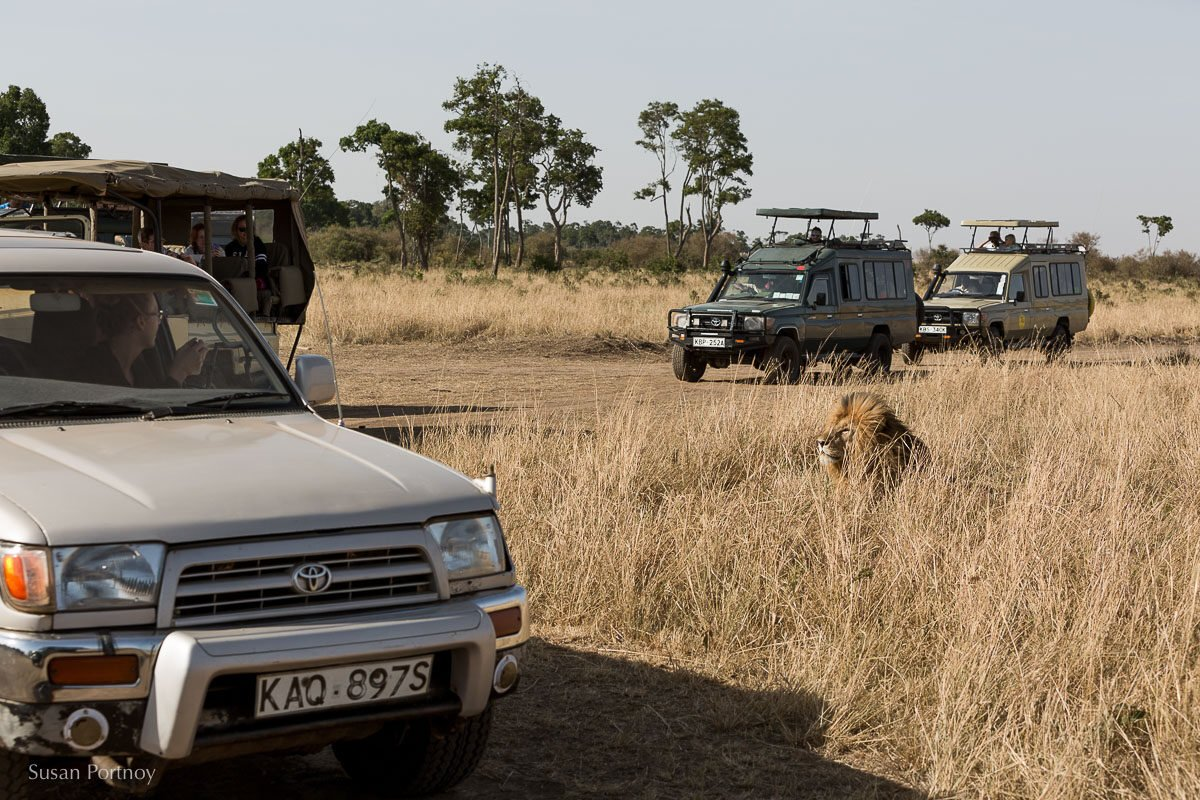 The reality of a Scar sighting. Safari-goers will drive miles for the opportunity to see him. Rangers didn't allow more than 5 jeeps  at a time. The rest waited about a half mile away and everyone took turns.