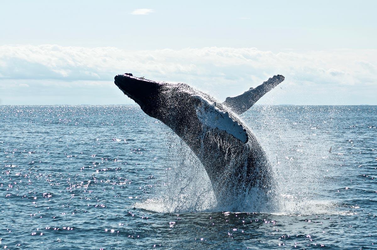 Humpback Whale breaching in the ocean