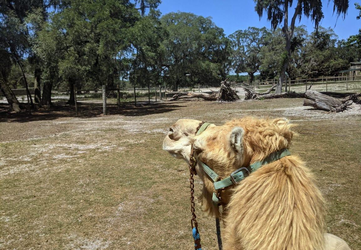 A camel on safari in Dade City.jpg