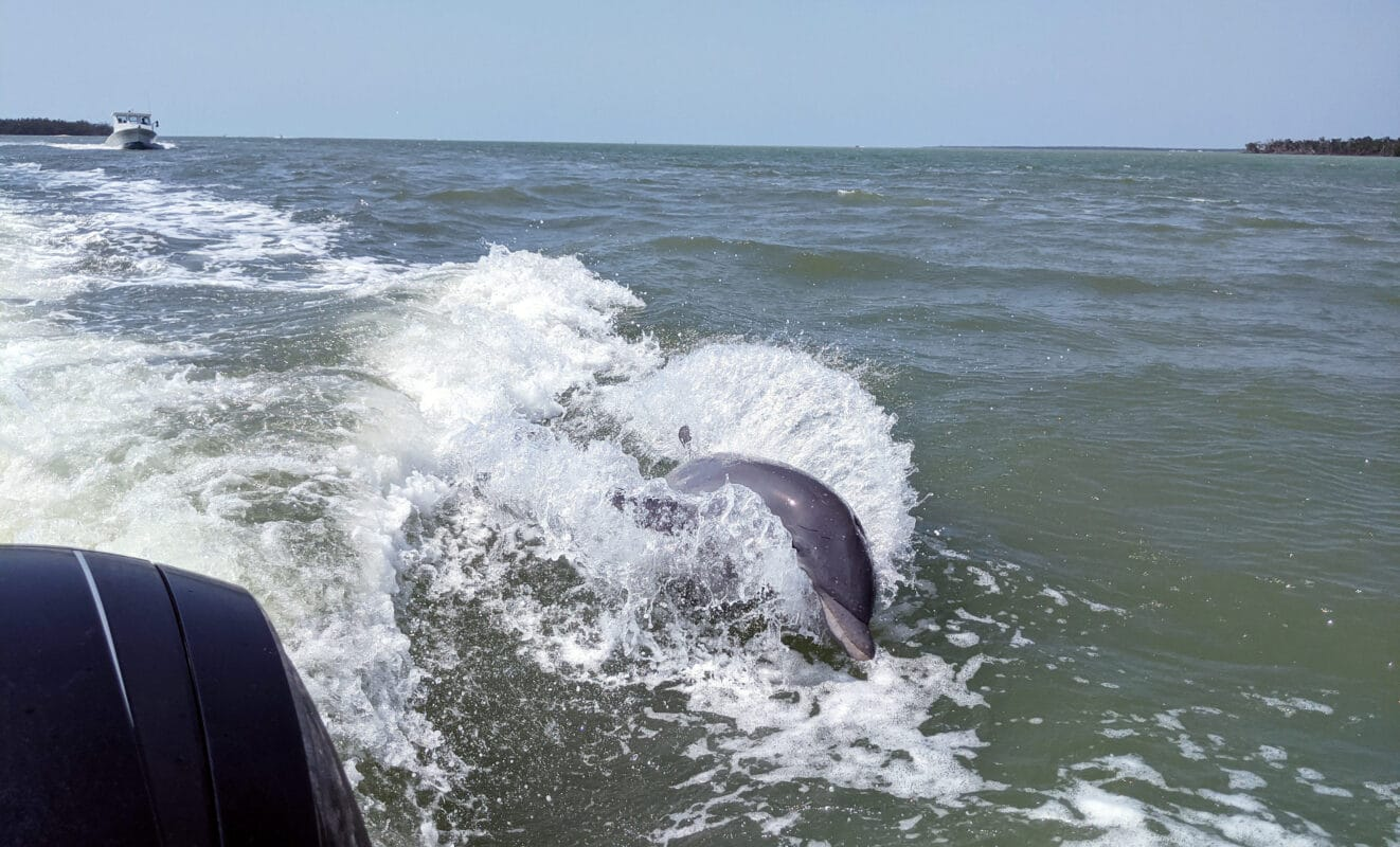 A dolphin jumping in the wake of the Dreamlander Tours boat