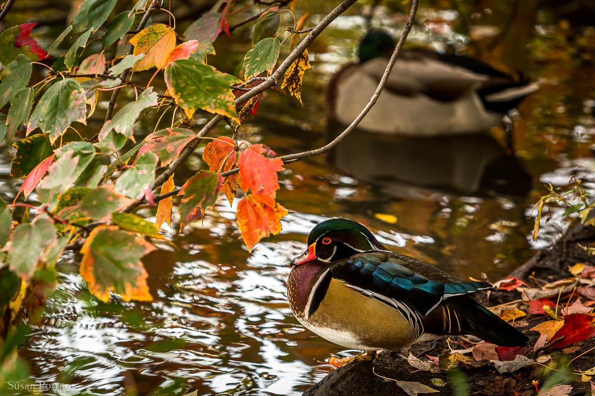 A colorful lone wood Duck in Central Park in Fall.