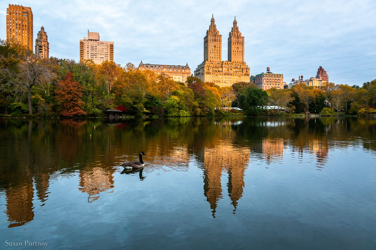 View from the east side of The Lake towards Central Park West. A Canadian Goose floats in the water. This area is one of the best spots to see autumn leaves in Central Park in Fall