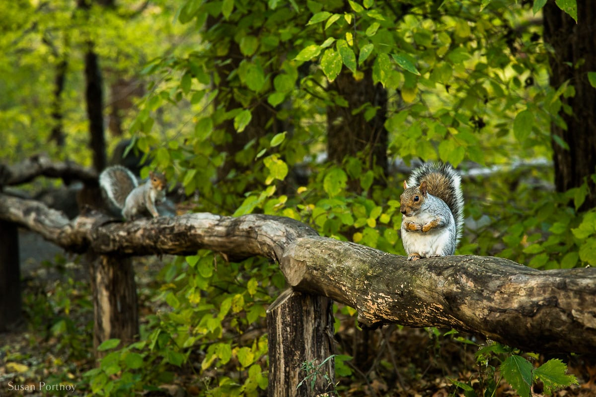 Squirrels sitting on a fence in the ramble in Central Park