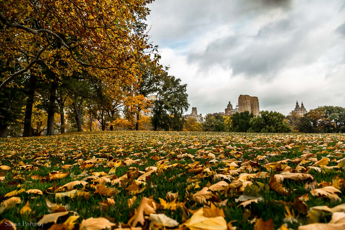Sheep's Meadow facing west. Residential buildings in the background along Central Park West. Colorful autumn leaves on the ground