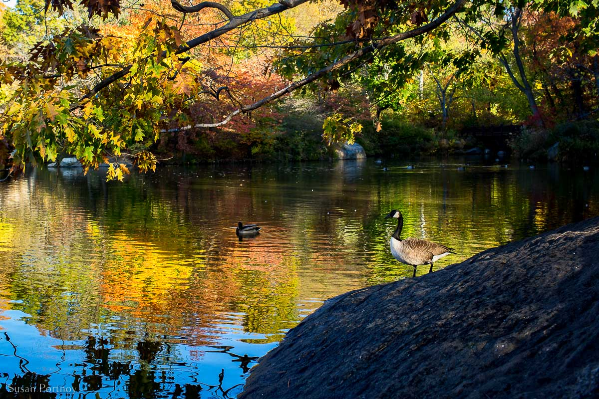 A Canadian Goose on the northeast side of The Lake during the fall in Central Park